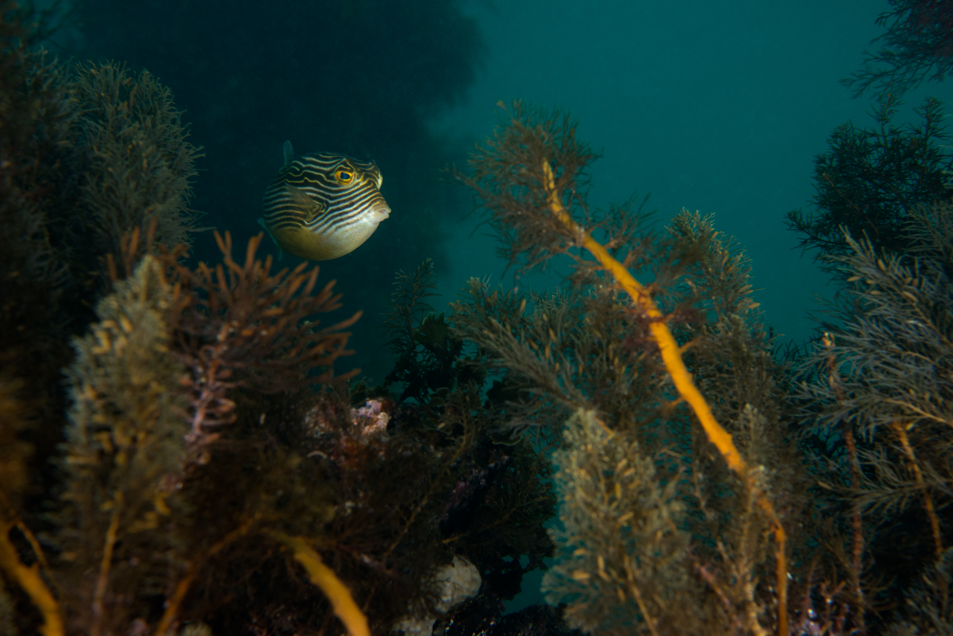 Aracana ornata: ornate cowfish