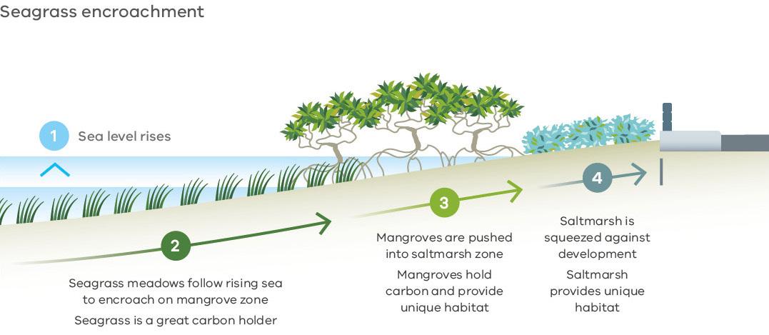Seagrass encroachment