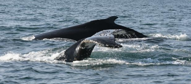 Megaptera novaeangliae: humpback whale