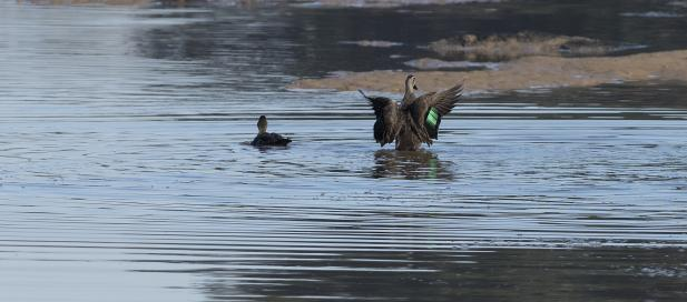 Anas superciliosa: pacific black duck