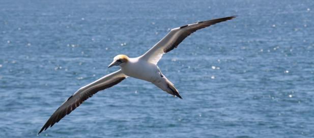 Morus serrator: Australasian gannet