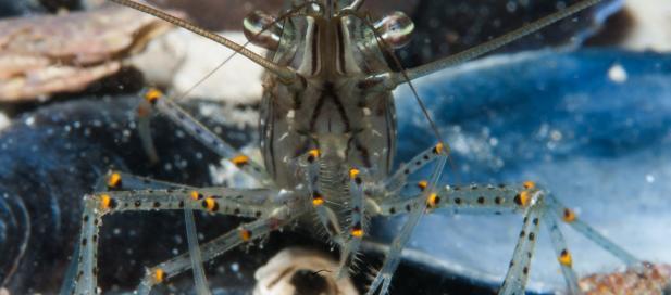 Palaemon serenus: red-handed shrimp