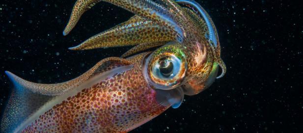 Sepioteuthis australis: southern calamari squid