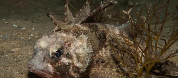 Neosebastes scorpaenoides: common gurnard perch