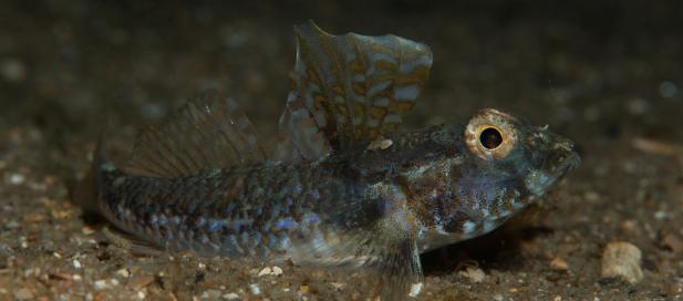 Nesogobius pulchellus: sailfin goby