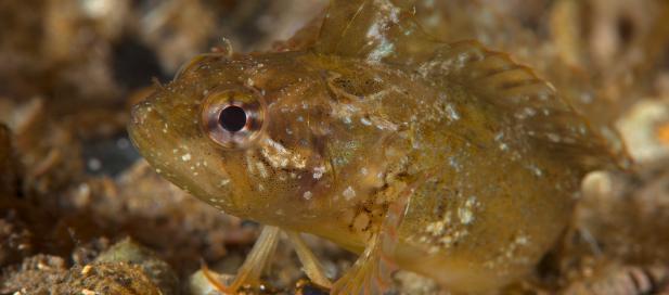 Heteroclinus perspicillatus: common weedfish