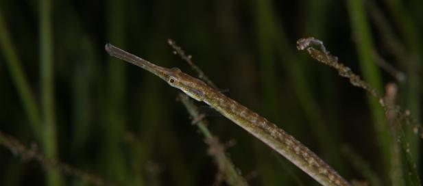 Stigmatopora nigra: widebody pipefish