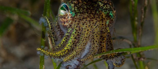 Euprymna tasmanica: southern bobtail squid