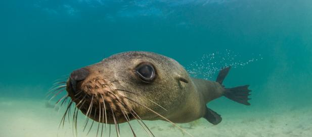 Australian fur seal. Image credit - Julian Finn, Museums Victoria
