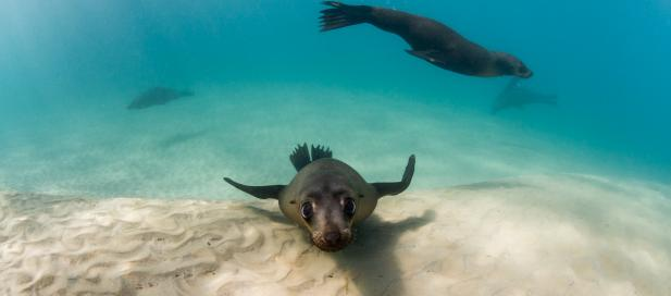Arctocephalus pusillus: Australian fur seal