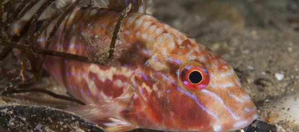 Upeneichthys vlamingii: bluespotted goatfish