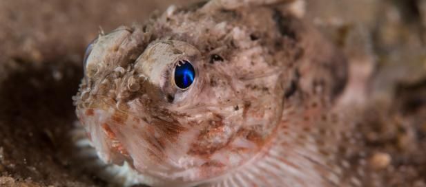 Maxillicosta scabriceps: little gurnard perch