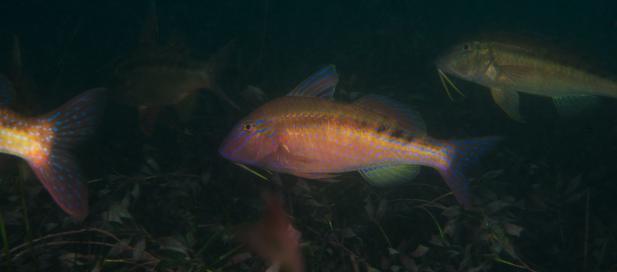 Upeneichthys vlamingii: blue-spotted goatfish