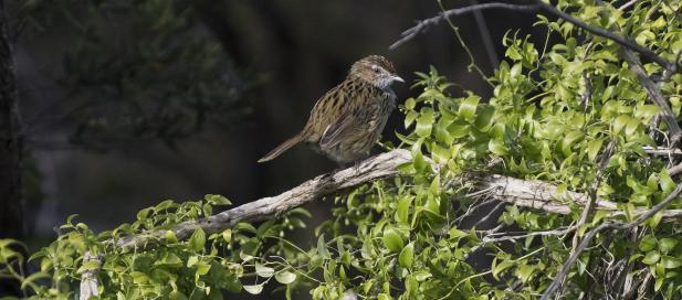 Megalurus gramineus, Little Grassbird, St Leonards, Swan Bay, Edwards Point Wildlife Reserve