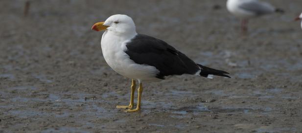 Larus pacificus: Pacific gull