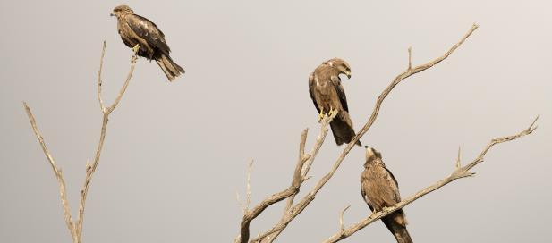 Milvus migrans: black kite