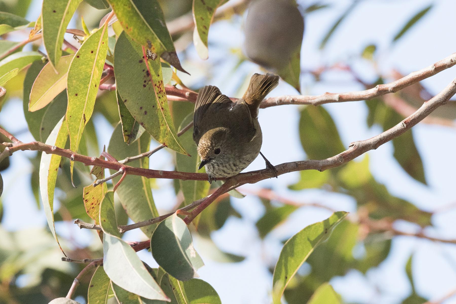 Acanthiza pusilla: brown thornbill