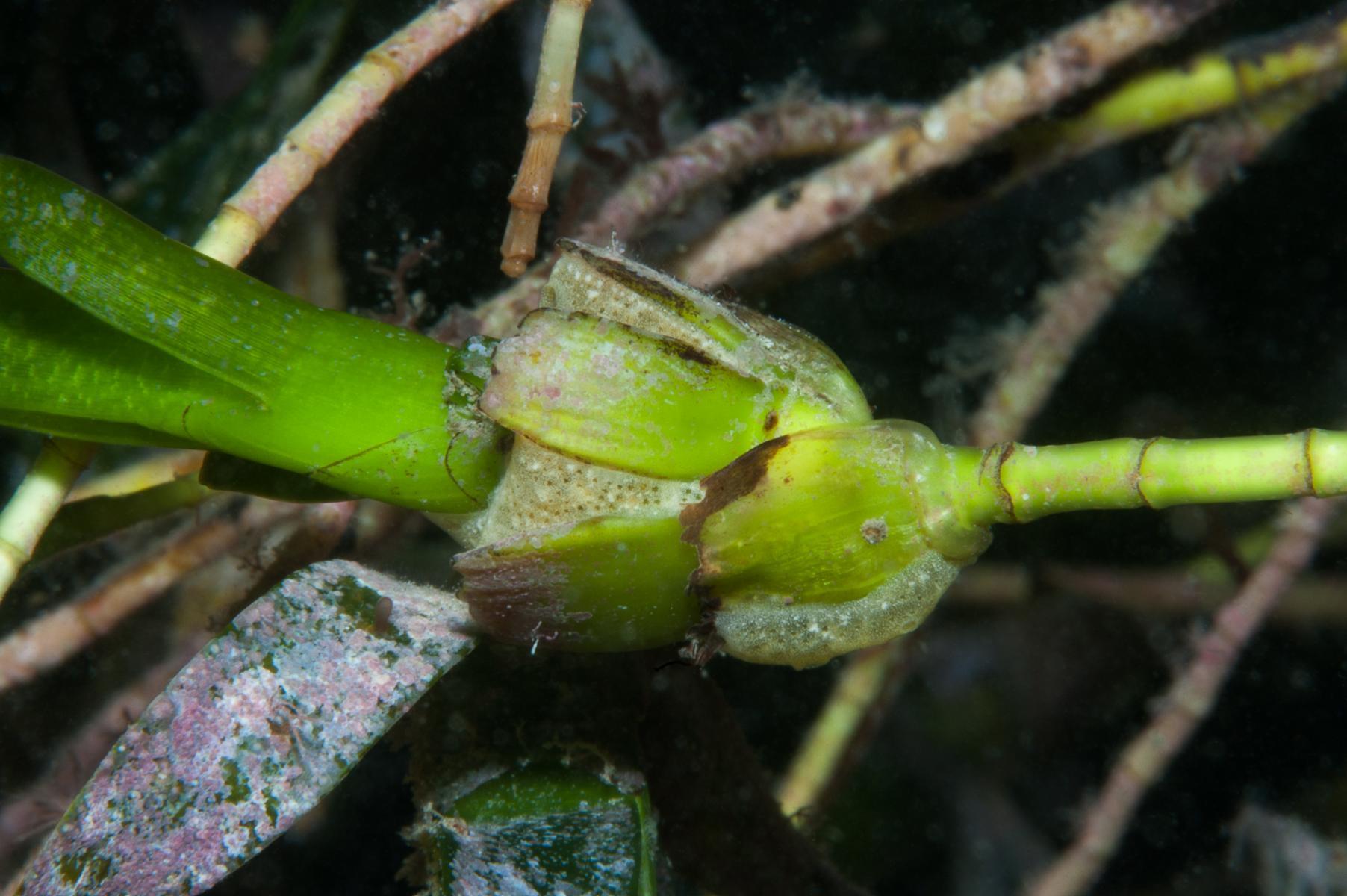 Amphibolis antarctica: sea nymph