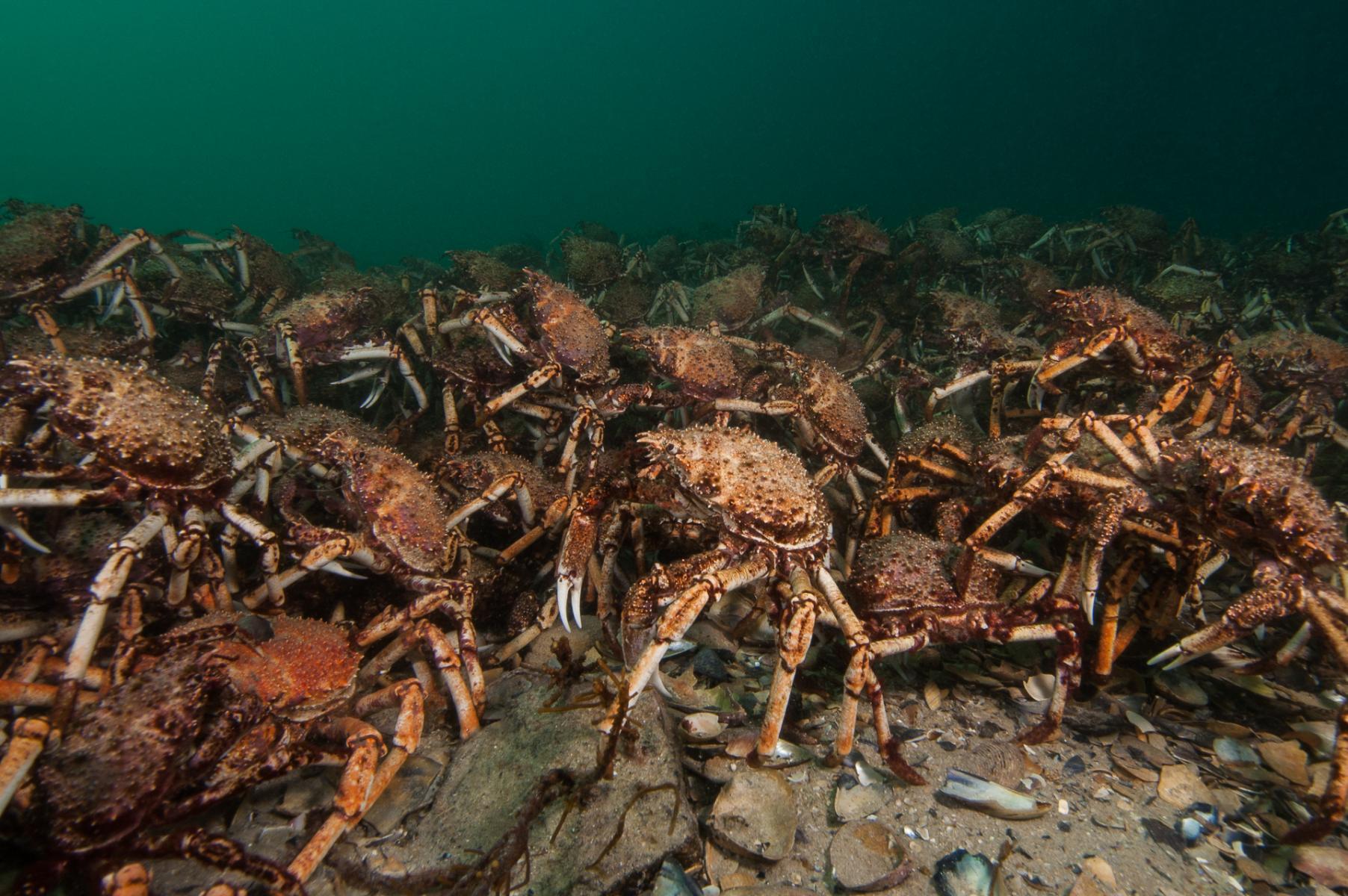 Leptomithrax gaimardii: giant spider crab