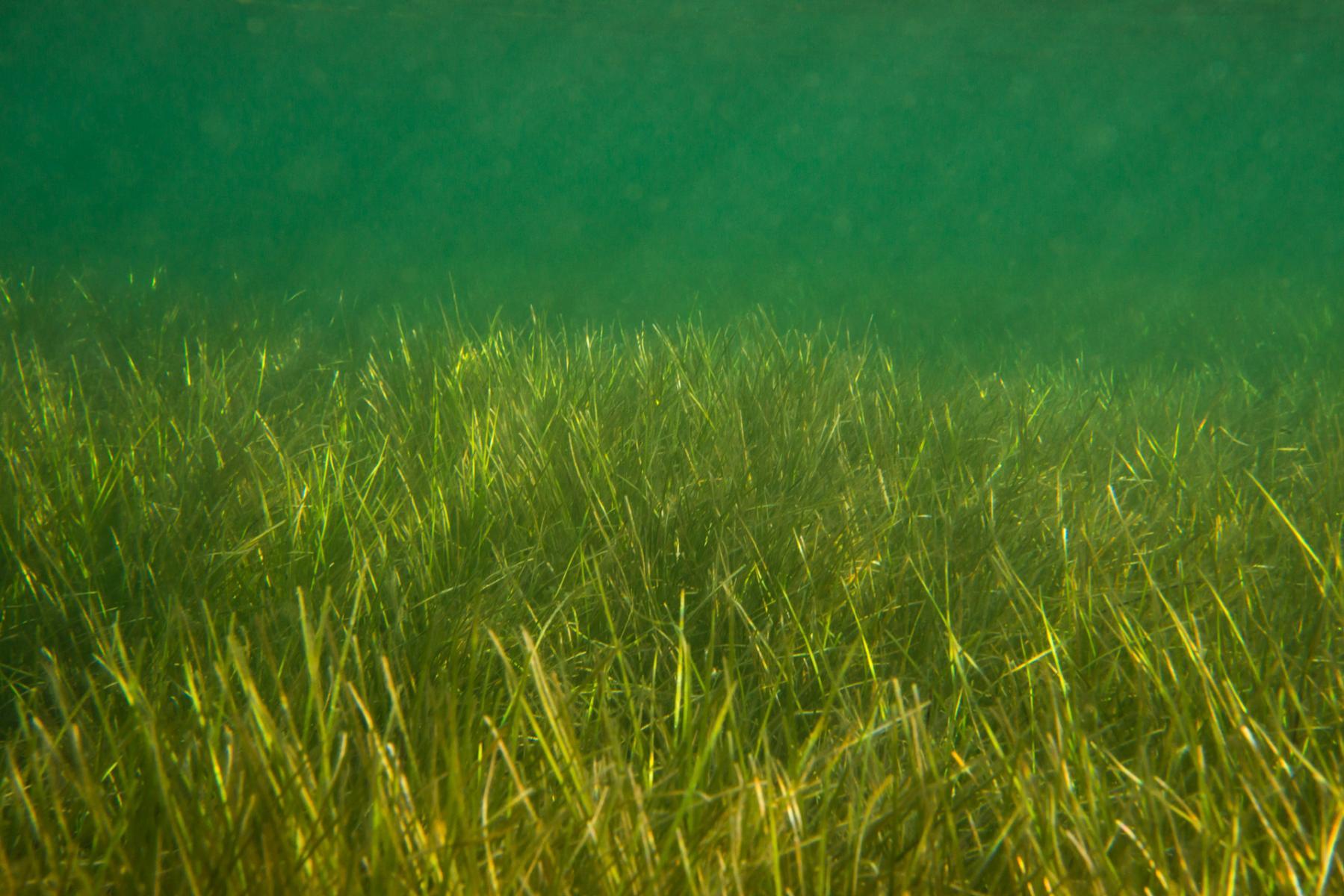 Zostera nigricaulis: seagrass
