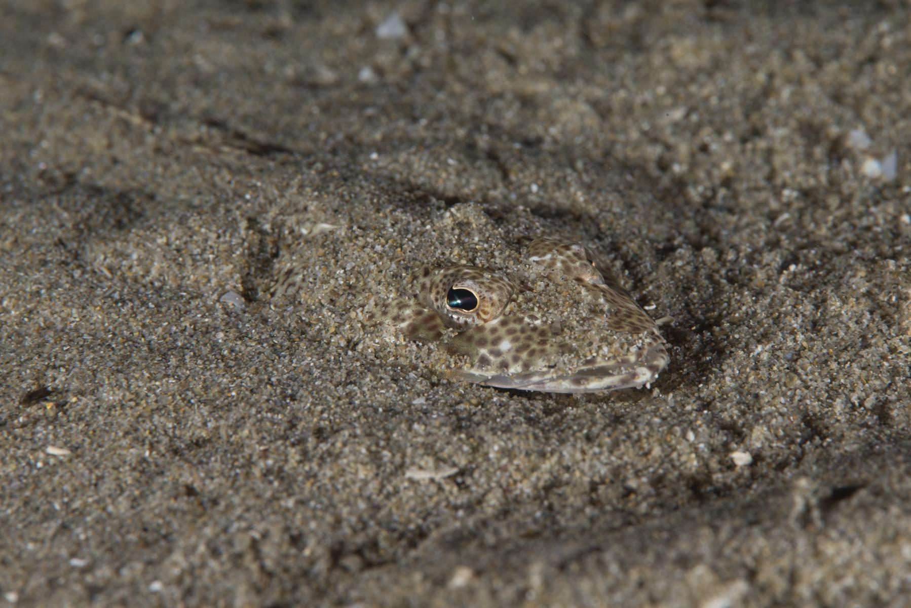 Platycephalus bassensis: southern sand flathead