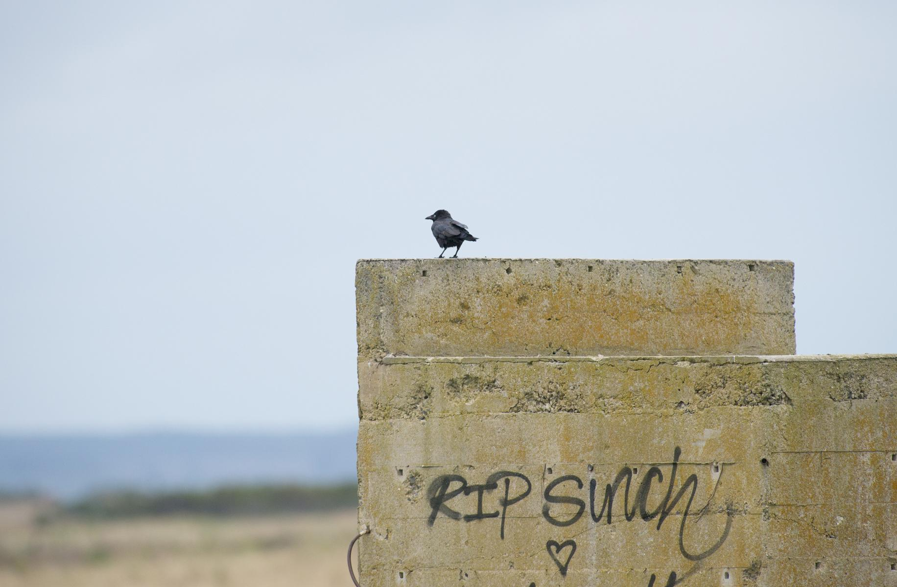 Corvus mellori: little raven