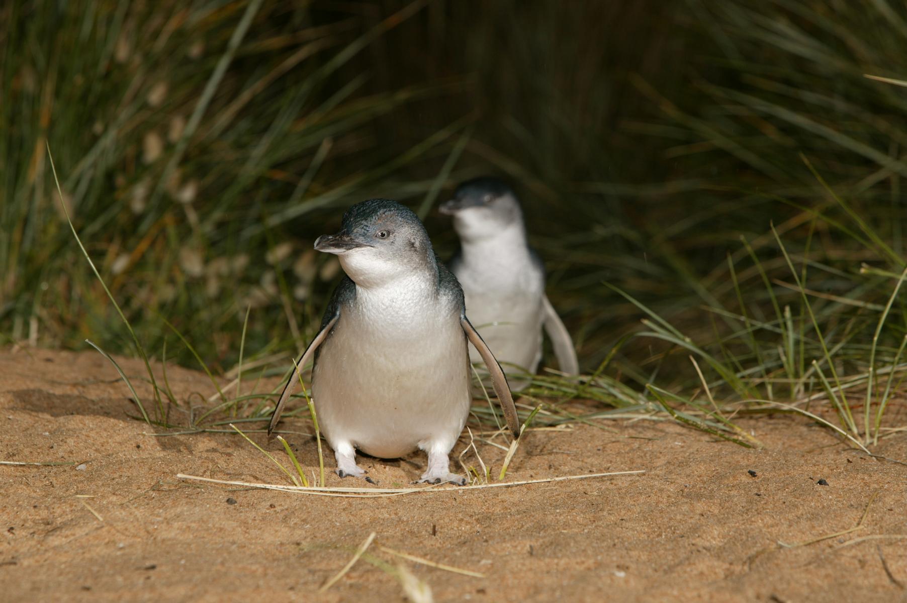 Eudyptula minor: little penguin