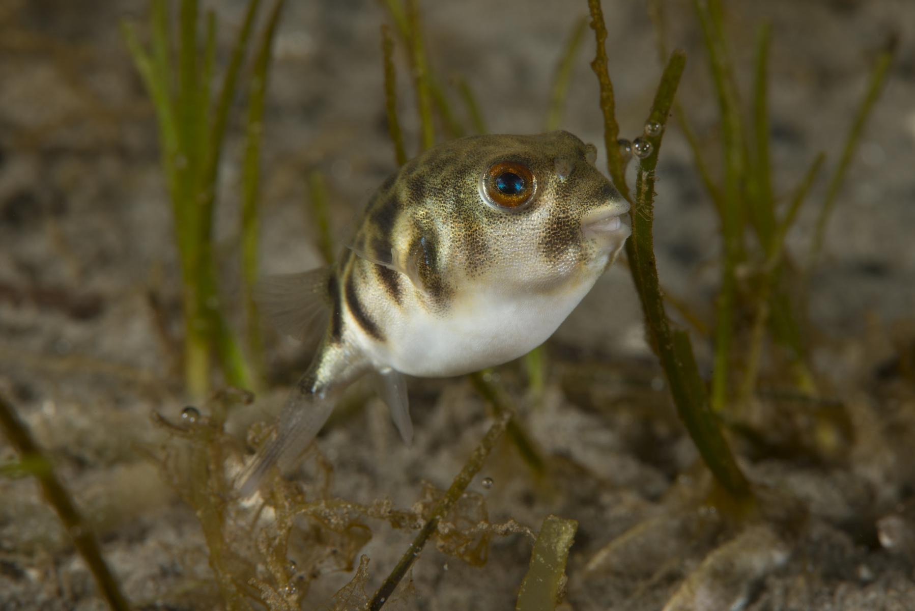 Contusus brevicaudus: prickly toadfish