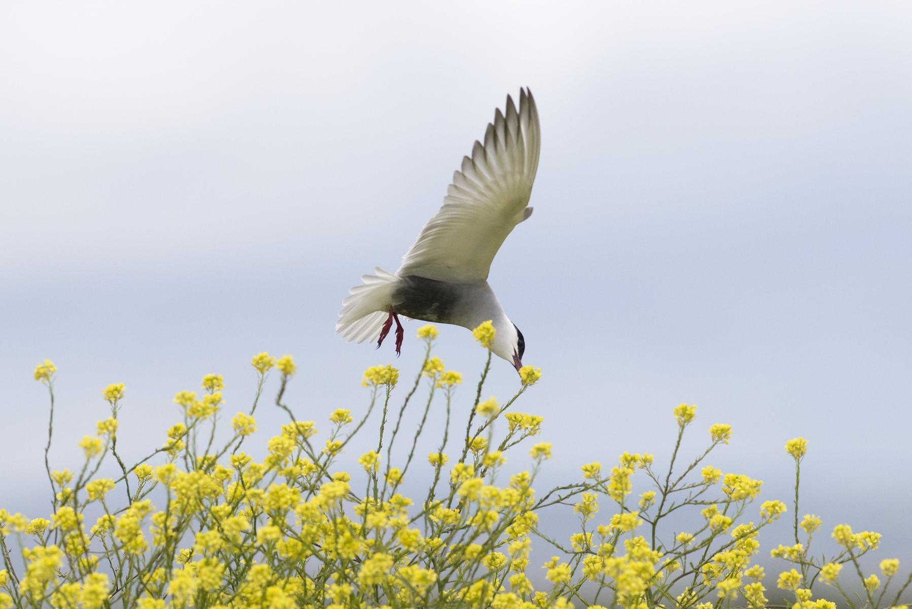 Chlidonias hybridus: whiskered tern