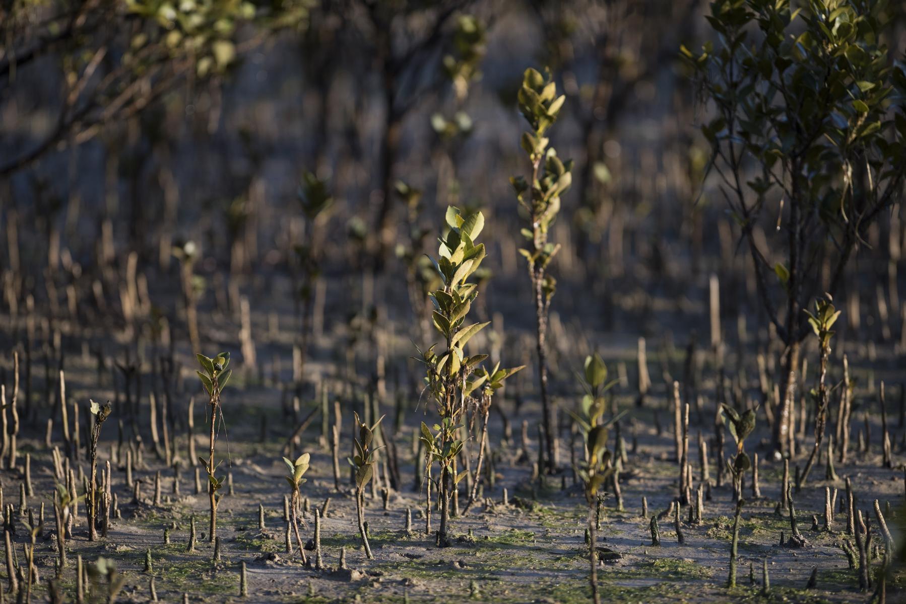 Avicennia marina: mangroves