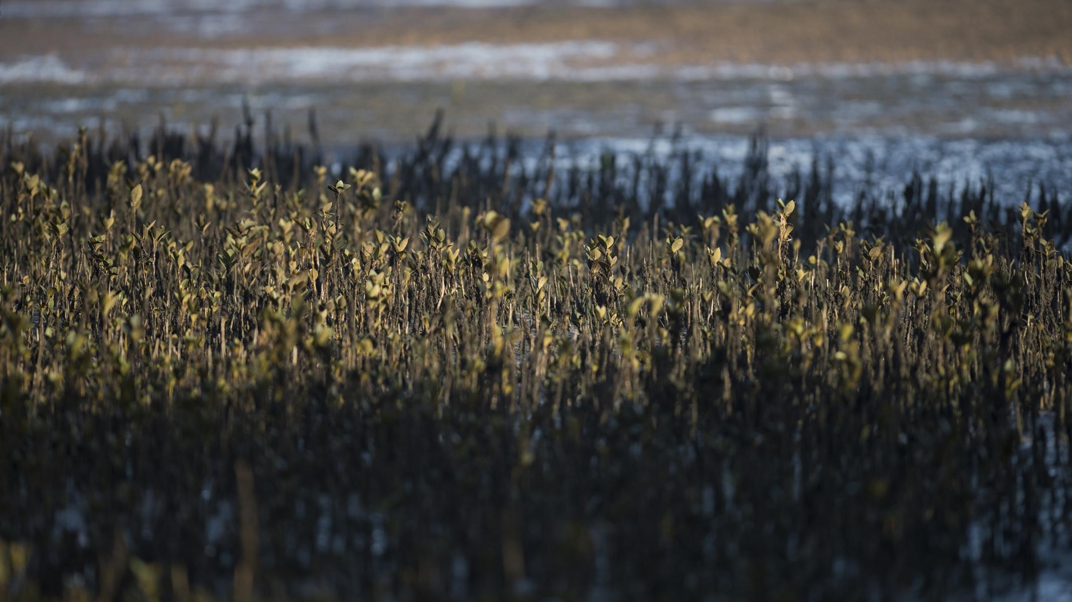 Avicennia marina: mangrove